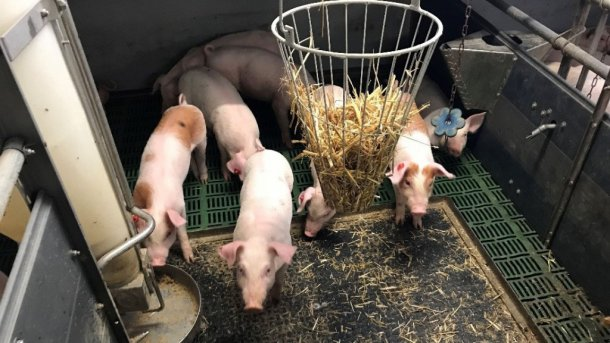 Pic 1. Intact (non-docked) pigs with manipulable material. Picture courtesy of Inge Böhne