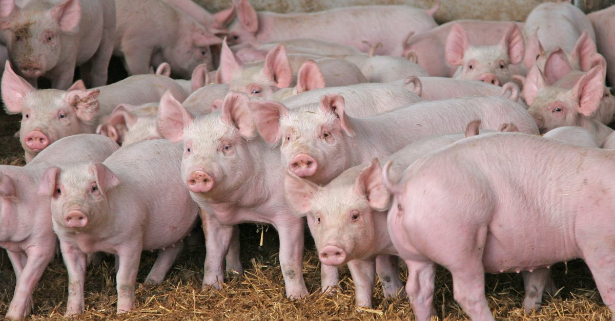 10 Reasons to Farm with Pigs in South Africa