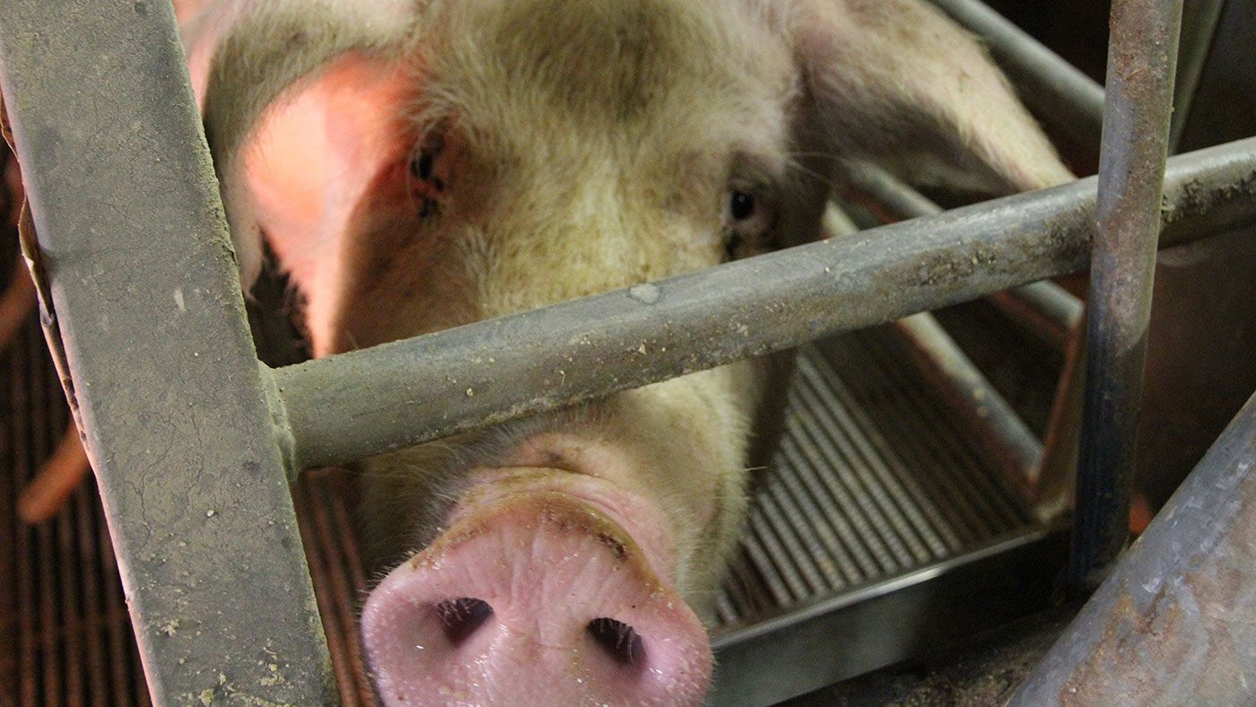 the pig site forum