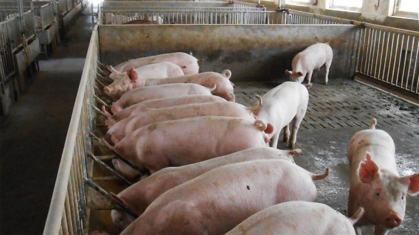 Figure 2. Typical breeder and finisher pig accommodation on affected farm.