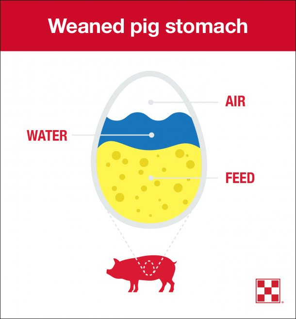 Stomach size is a limiting factor in weaned pig feed intake. At 21 days, a pig's stomach is the size of an egg, and pigs can only eat 1 ounce of feed at a time. To meet weaned pigs' nutritional needs, encourage repeat feeding behavior.