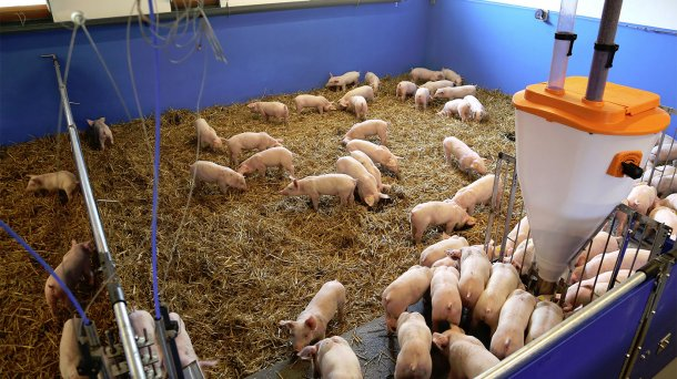 New system permits pigs on straw - Company news - pig333, pig to