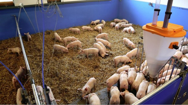 A new principle for applying straw for piglets and porkers will be presented at Agromek 2018 by Big Dutchman A/S.