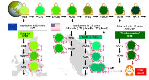 Fig 1. Evolution of H3N2 influenza viruses in humans and in swine. Different shades of green
