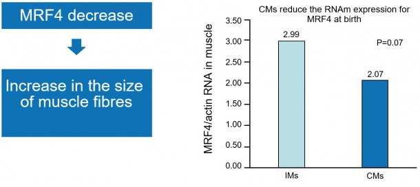 Figure 1. The drop in nuclear factor MRF4 increases muscle growth (hypertrophy).