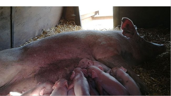 Pig production blog: swine nutrition, pig farming, - pig333, pig to ...