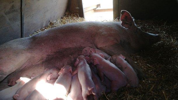 Lactating piglets.