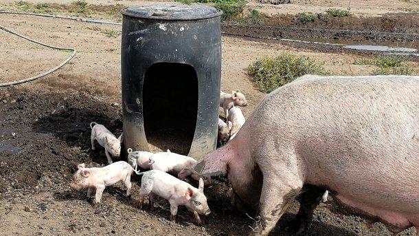Piglets around barrel.