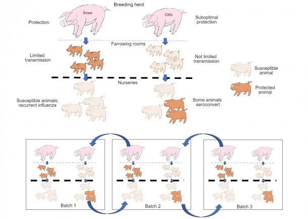 Figure 1: The spreading is further reduced in animals that obtain a better quality protection (piglets born to multiparous sows) than in piglets born to primiparous sows. In the nursery stage, the animals that have become infected in the presence of a certain level of maternal antibodies will not develop immunity actively, so the virus will be able to infect and cause recurrent influenza. Finally, the presence, at the same time, of different batches of animals with different ages facilitates the spreading of the virus between production batches, therefore perpetuating the infection.