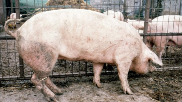 Figure 2. Upright front limbs; sloping back limbs in a sow.