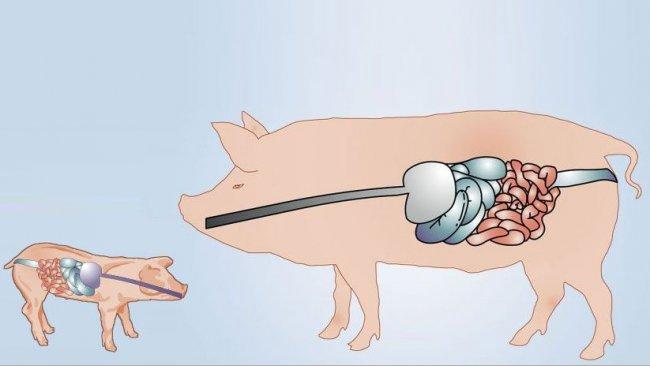 Pig production blog: swine nutrition pig farming pig333 pig to