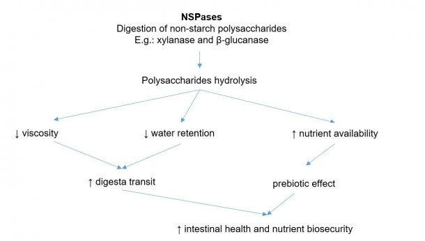 Mechanism of action of exogenous enzymes. Exogenous enzymes have prebiotic activity by hydrolyzing non-starch polysaccharides to oligosaccharides usable by certain bacteria. Adapted from Sinha 2011