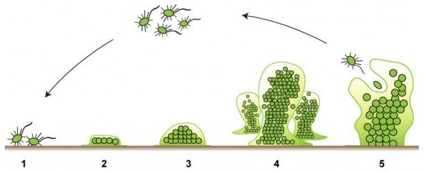 The five stages of the formation of a biofilm. Source: http://www.emerypharmaservices.com/