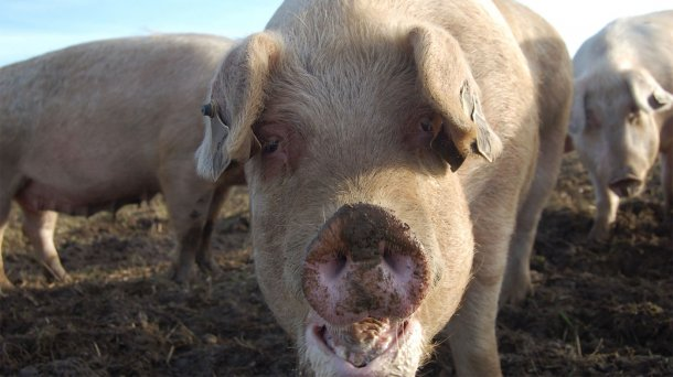 Swine flu can cause abortions and other reproductive disorders in sows.