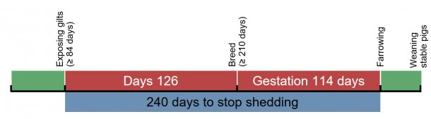 Figure 1. Time line for exposure of replacement gilts.