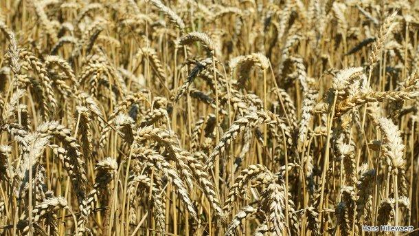 Wheat field inOostburg, Netherlands. Photoby Hans Hillewaert.
