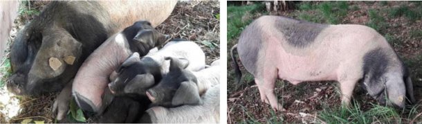 Figure 2. Sow of Basque breed with piglets (photo credit B. Lebret) and Figure 3. Boar of Basque breed (photo credit Kintoa).