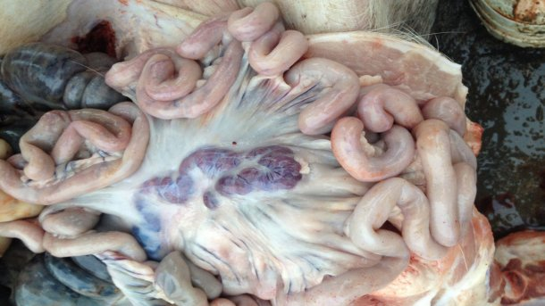 Picture from an infected pig 14 days after initial detection of disease. Enlarged and haemorraghic lymph nodes.