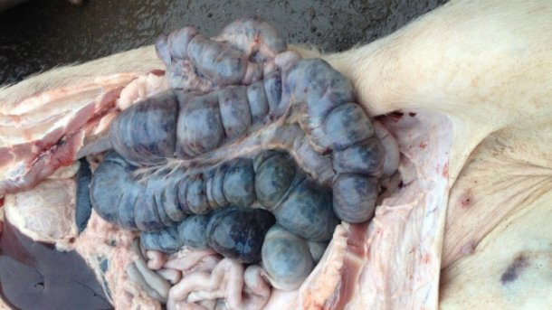 Picture from an infected pig 14 days after initial detection of disease. Haemorraghic lesions in the large intestine.