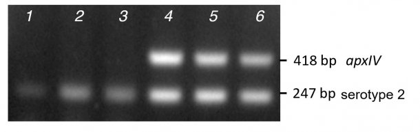 Figure 2. Comparison of band amplification from purified colony PCR (lanes 1-3) versus DNA (lanes 4-6) for three clinical serotype 2 isolates using mPCR1.