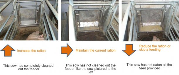 Figure2: At least once a day sow feeders should be checked, and it should be decided if the sow can eat more or not depending on what is observed. Source: Pig Research Center