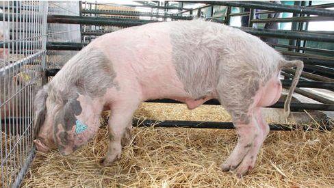 Pig production blog: swine nutrition, pig farming, - pig333