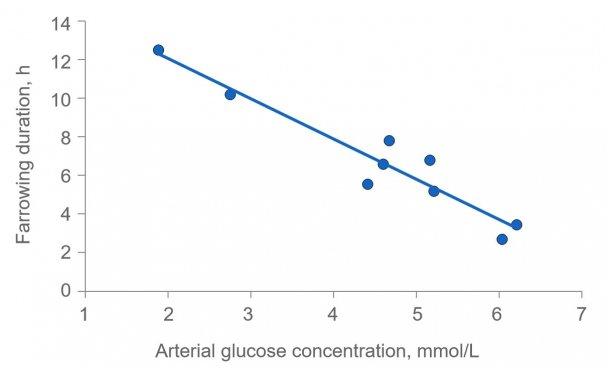 Figure 2: Farrowing duration is greatly extended if sows are depleted of energy. Plasma glucose is normally kept constant at 4.5 (range 4 to 5) mmol/L, but shortly after feeding it exceeds this level and several hours after feeding the plasma glucose may be compromised if the glycogen depot in the liver is depleted.