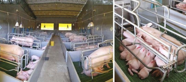 Good growth in lactationand at weaning