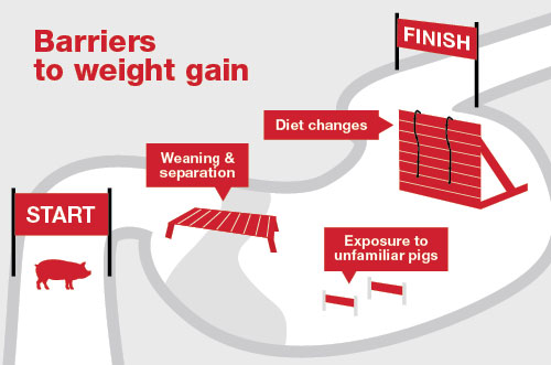 The right nutrition and management at the right time help pigs power through barriers such as diet changes and other transitions from wean to finish.