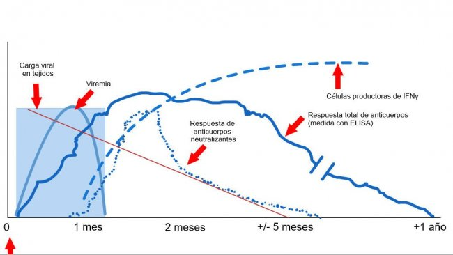 Graphic1: Immune system response of a sow infected by PRRS virus (López andOsorio, 2004).