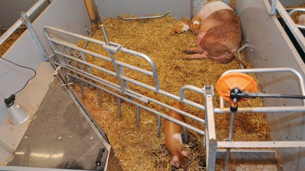 The farrowing pen is designed in an open and clearly structured way, with the piglet nest and trough located at the corridor.
