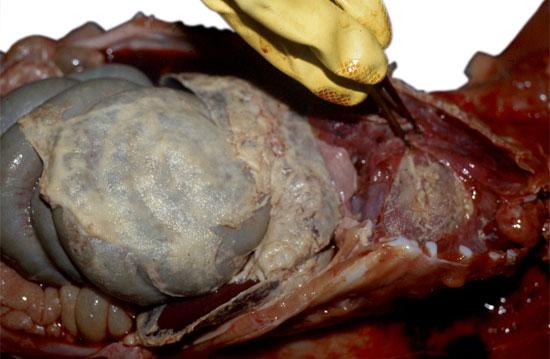 Articles : Clinical and pathologic diagnosis - pig333, pig ...