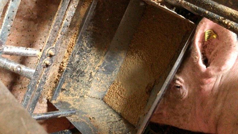 Ảnh 2. Việc cho ăn phải được kiểm soát trước khi đẻ và những ngày sau khi đẻ, tránh cho nái bỏ ăn.
