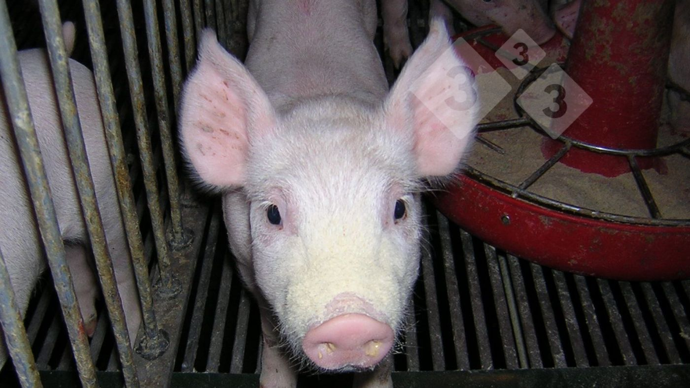 Effect of heat stress on amino acid digestibility in pigs ...