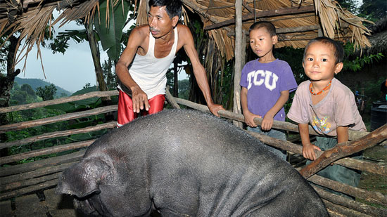 Raising pigs is a particularly important livelihood for smallholders in northeast India, where hilly terrain, poor roads and widespread poverty hamper crop cultivation