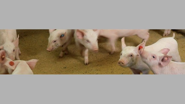Using different colored ear tags to identify piglets born during different weeks.