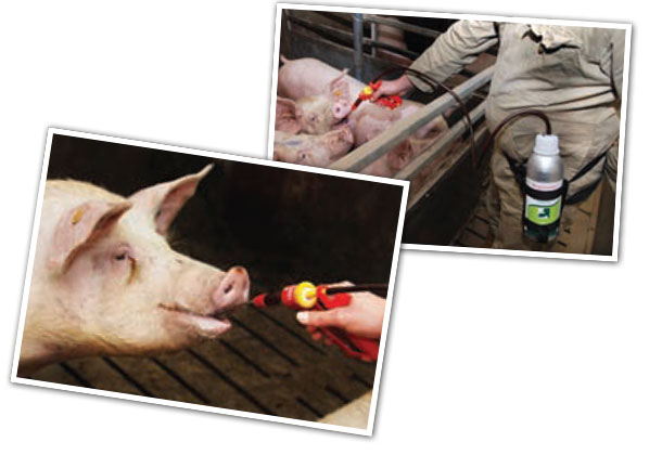 Training the sows with fruit juice for the intake of hormonal treatments