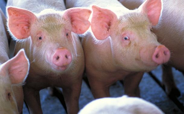 Essential Differences – Pig Spotting | Sugar Mountain Farm