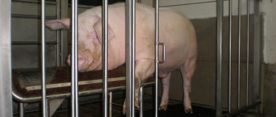 Landrace boar in an artificial insemination centre