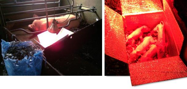 Piglets inside the hyperthermal box