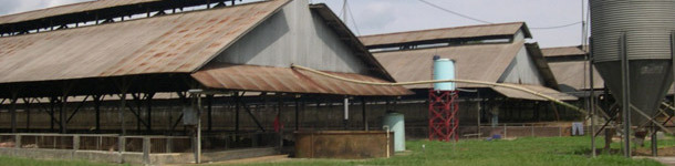 Typical finisher buildings in the case study farm for south-east Asia farms, with rodent and bird protection