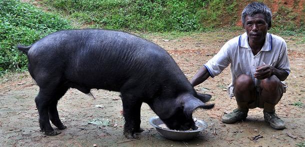 Отсутствие развития  селекции и недостаток кормов тормозит рост индийского свиноводства