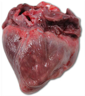 Heart of a piglet that died at 40 days of age. We can see a great enlargement of the right ventricle, with multifocal necrosis (white patches) and gelatinous atrophy of the epicardial adipose tissue.