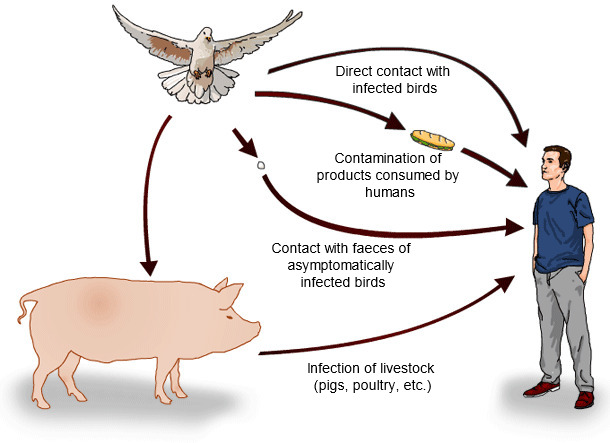 Possible routes of Salmonella spp. transmission from wild birds to humans
