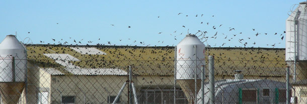 Presence of a great density of birds at a pig farm