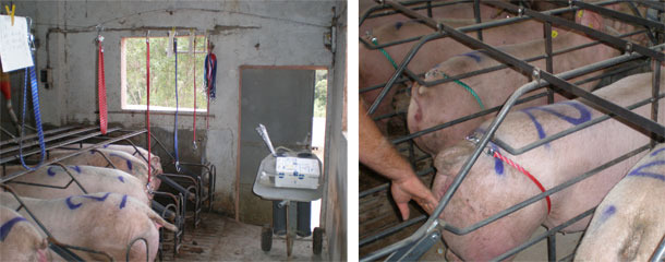 All the sows that show a clear standing reflex will be inseminated at once.