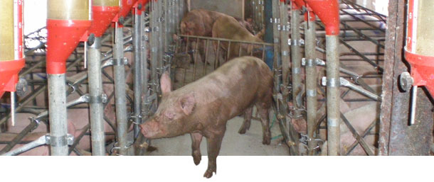 We leave a boar stimuating the sows in the first section, that are still showing the standing reflex.