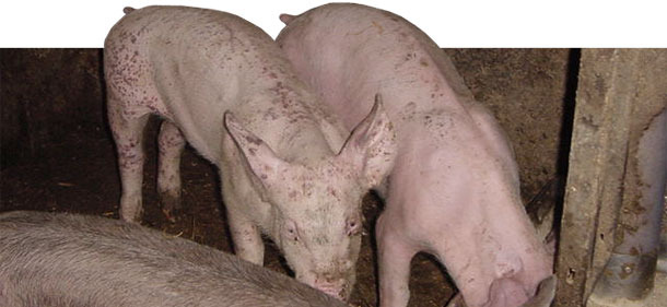 PMWS and PDNS affected piglets