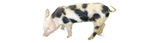Pig clinically affected with PMWS