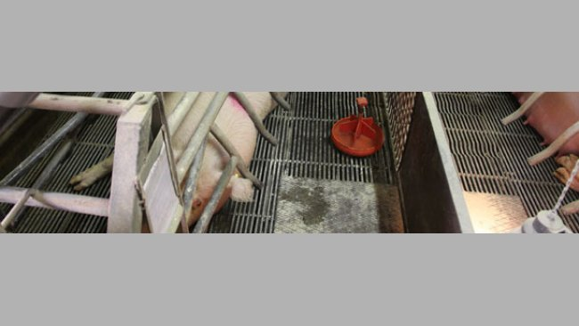 Farrowing sows
